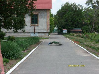 Аскания Нова - по улицам гуляет живность