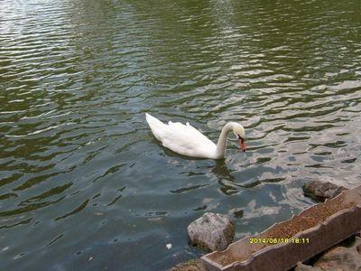 Аскания Нова. Лебеди