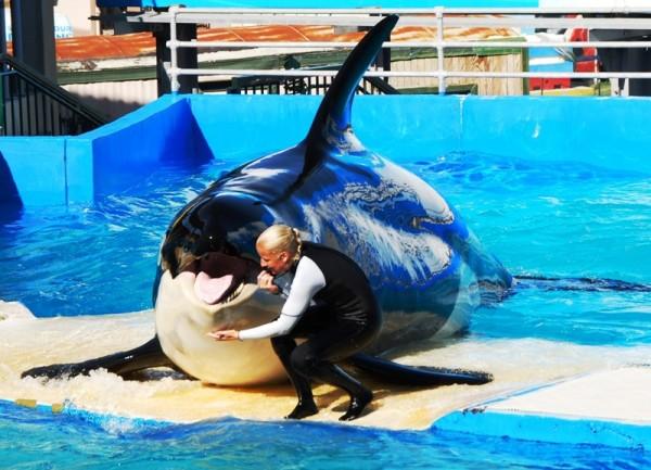 Касатки – главный аттракцион в Аквариуме Майами. Нареченные китами-убийцами, они тем не менее весьма умны и дружелюбны