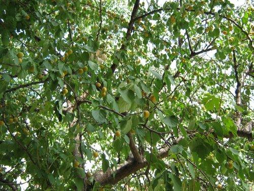 Персиковое дерево.