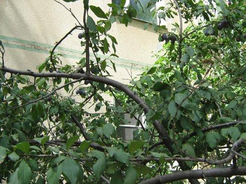 Сливовое дерево.