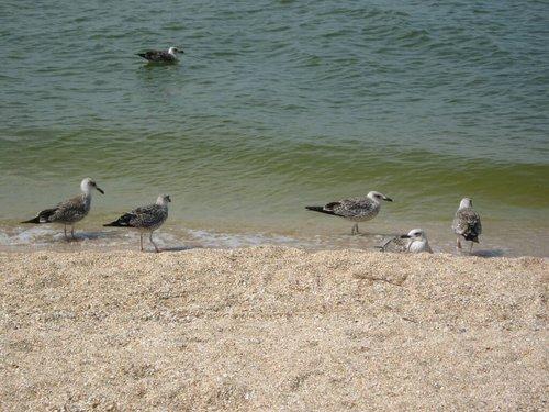 По-моему, эти птицы называются «Гагары». Их тут очень много.