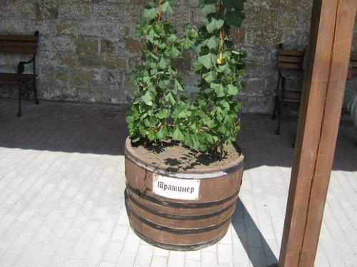 Один из винных сортов винограда.