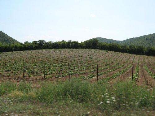 Наверное те самые виноградники, из которых делают шампанское.