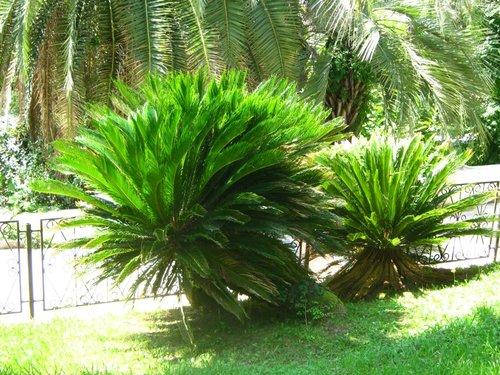 Карликовая пальма.