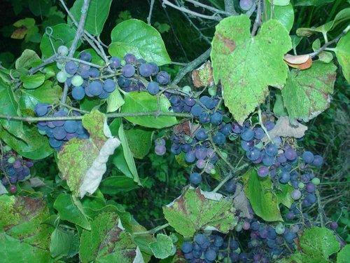 Виноград был всюду.