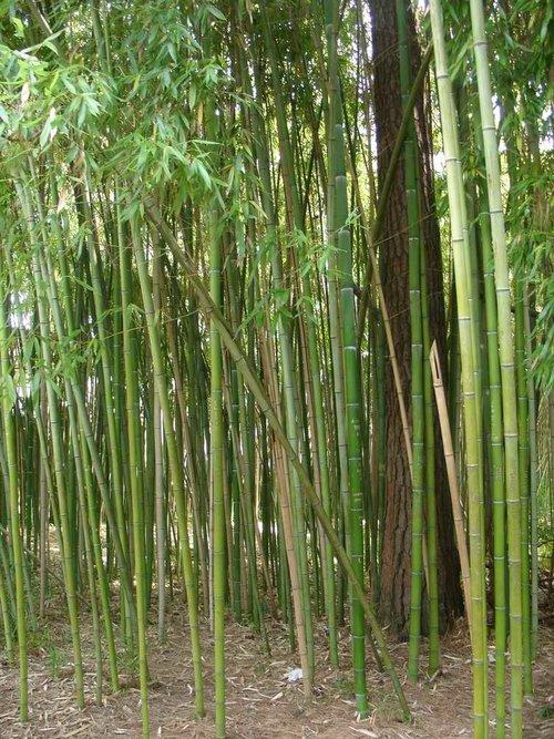 Бамбуковая роща.