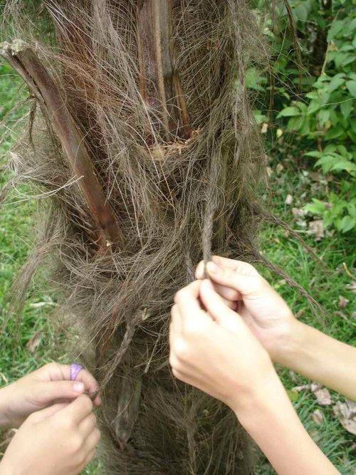 Косички на пальме. Это видимо какая-то традиция. Там детишки завязывают косички.