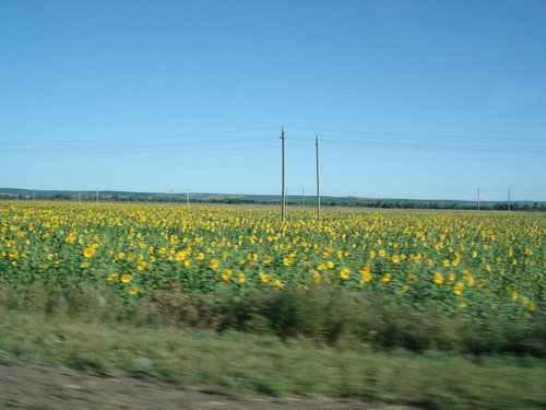 Подсолнуховые поля в Саратовской области.