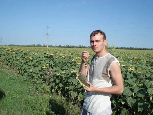 В Ростовской области как раз созрели подсолнухи.
