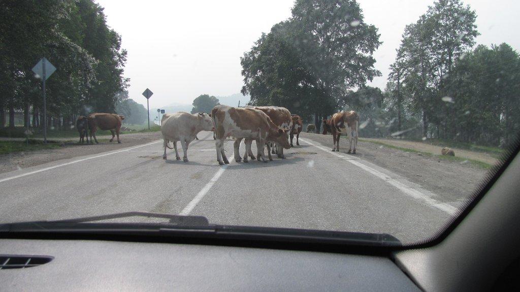 По пути по нашей любимой стране вот эти чудо-коровы честное слово достали....