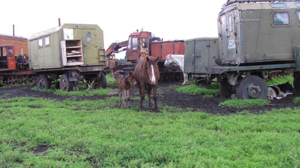 Лошади и скот в тайге сами по себе все ходят травку щиплят...коровы сами по времени доиться приходят потом опять уходят....