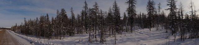 Очень зимний, очень якутский лес