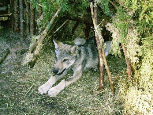 Любимый волчонок Деда Мороза.