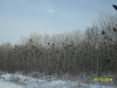 Местная аномалия — паразиты на деревьях, как нам объяснили.