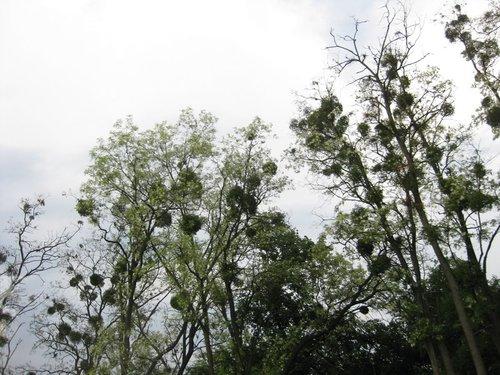 Это не птичьи гнёзда, это — растения-паразиты.