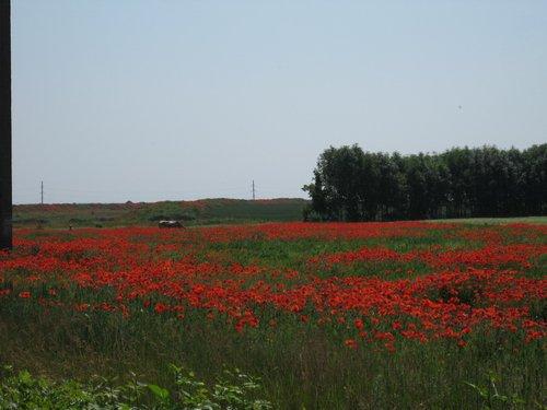 Маковые «плантации» в Черкасской области.