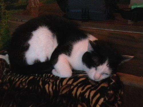 Тот самый кот Баргузин, спит и не подозревает, что его ждет.